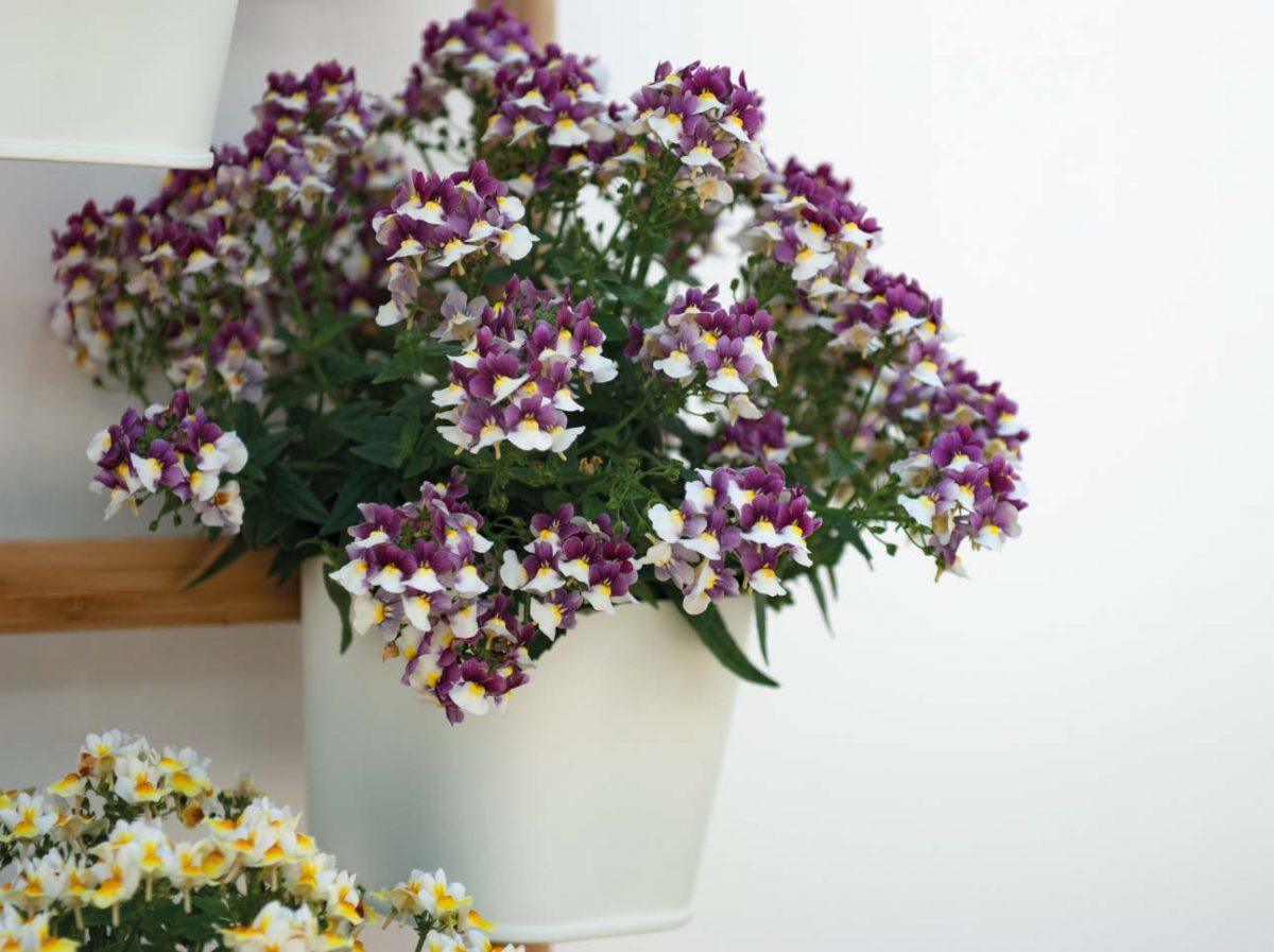 SUNPEDDLE® Painted Rose | Urban Nemesia