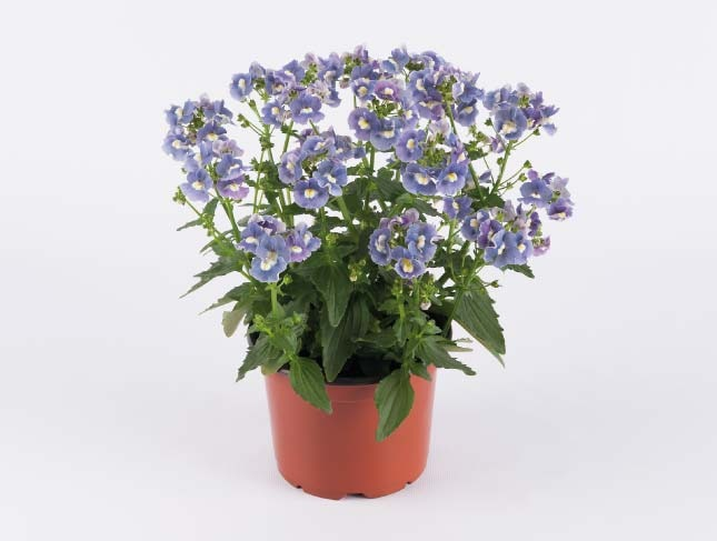 SUNPEDDLE® Blue Rose | Urban Nemesia