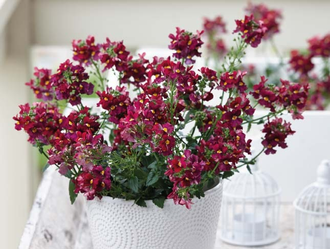 SUNPEDDLE® Red | Urban Nemesia