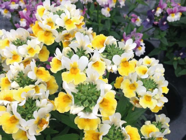 SUNPEDDLE® Yellow White | Urban Nemesia